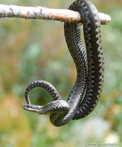Внимание!! МО - опасность - змеи (гадюки) 05.jpg_h500